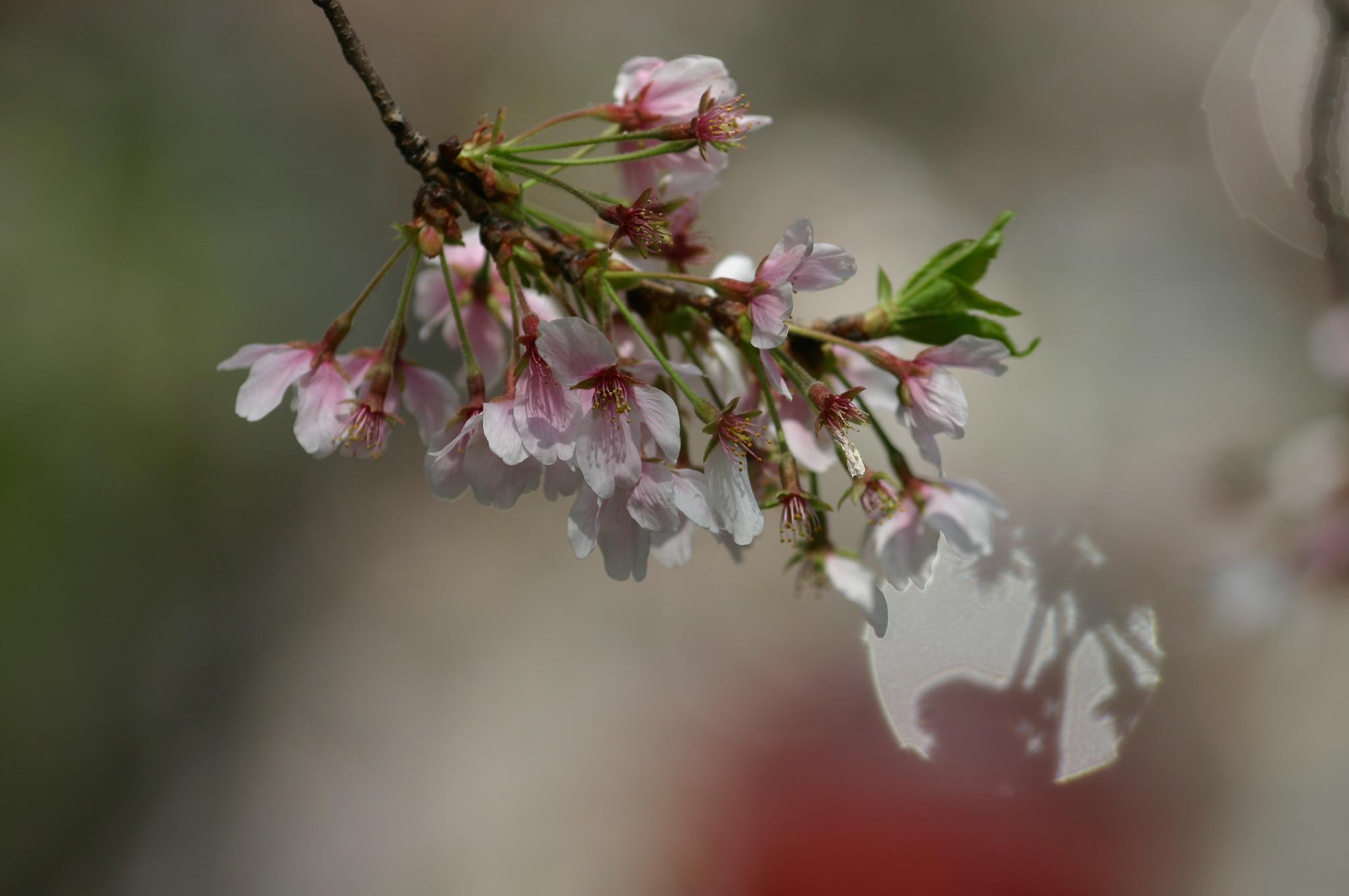 桜の花をアップに撮ったら