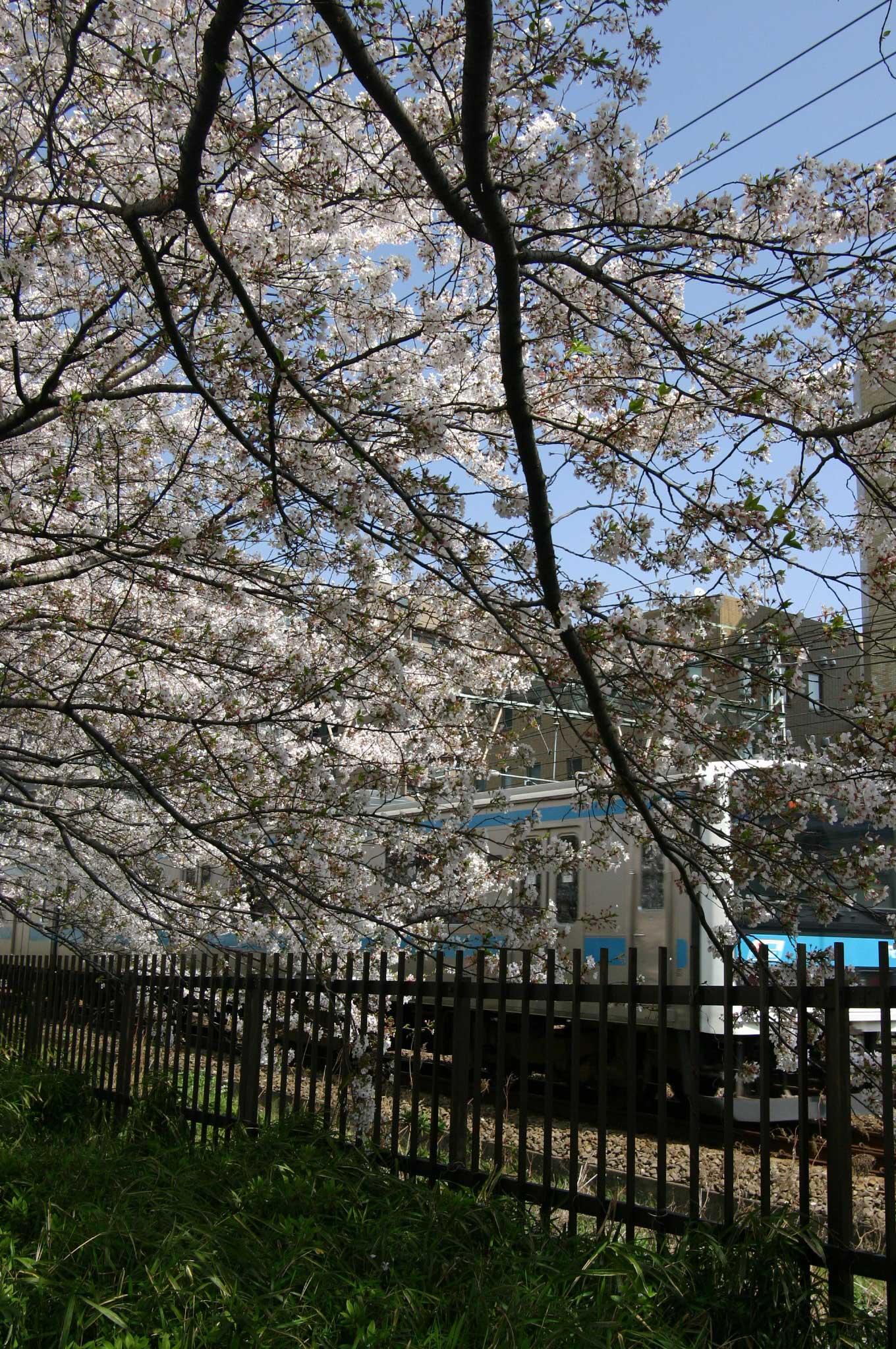 桜の花と京浜東北線