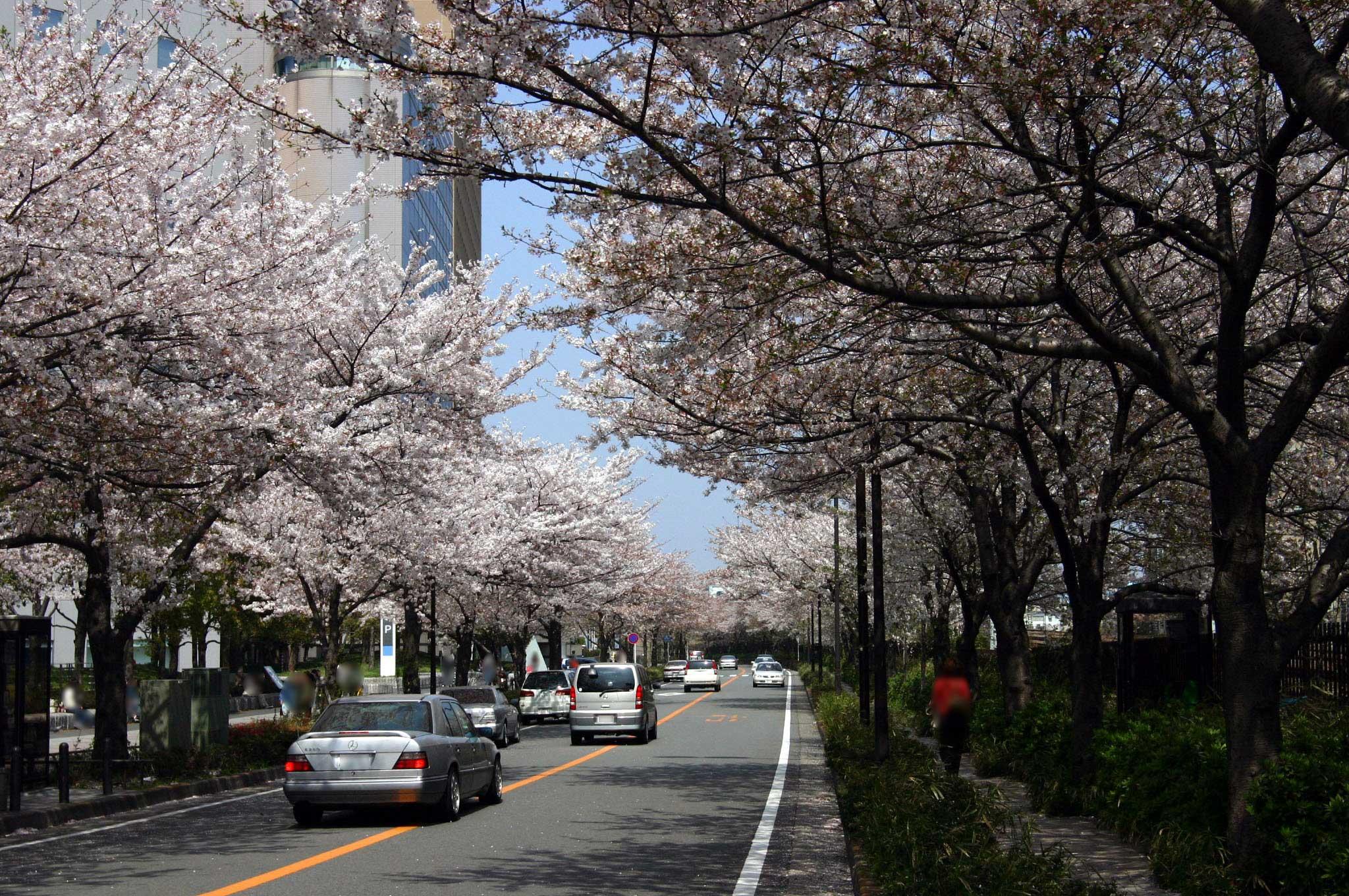 JR川崎駅の前には桜並木が