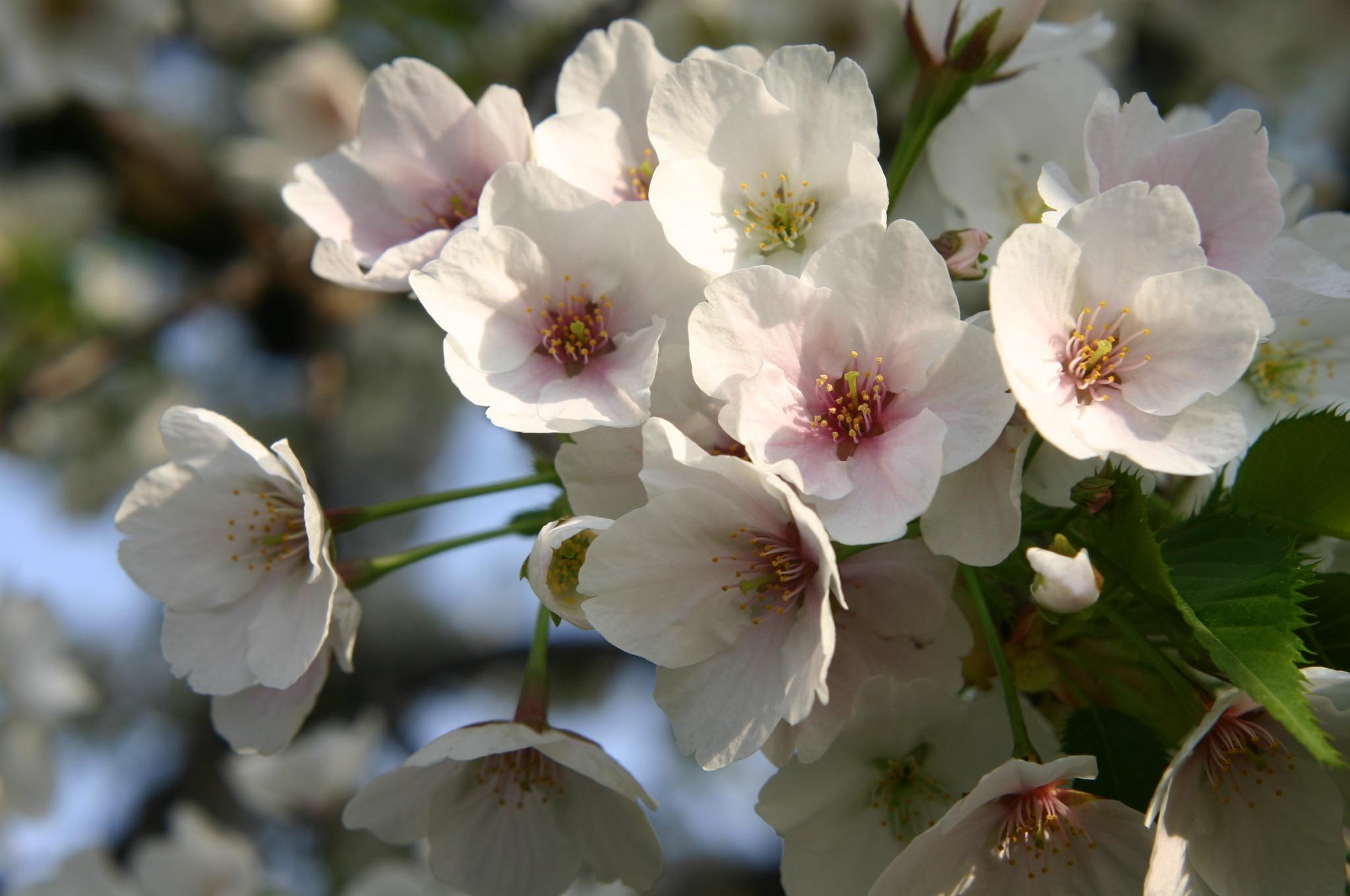 桜の花をアップで撮影