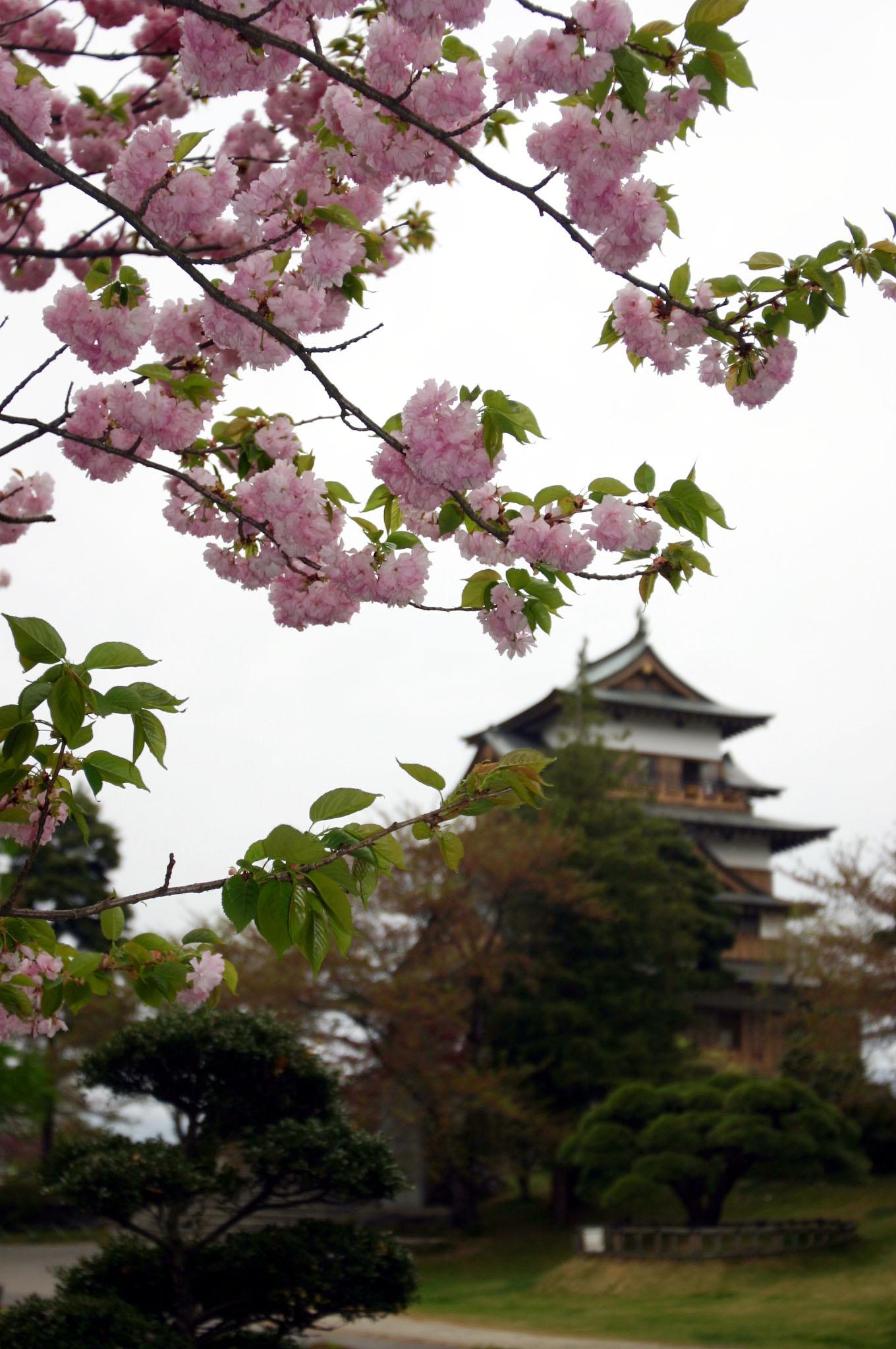 高島城と桜