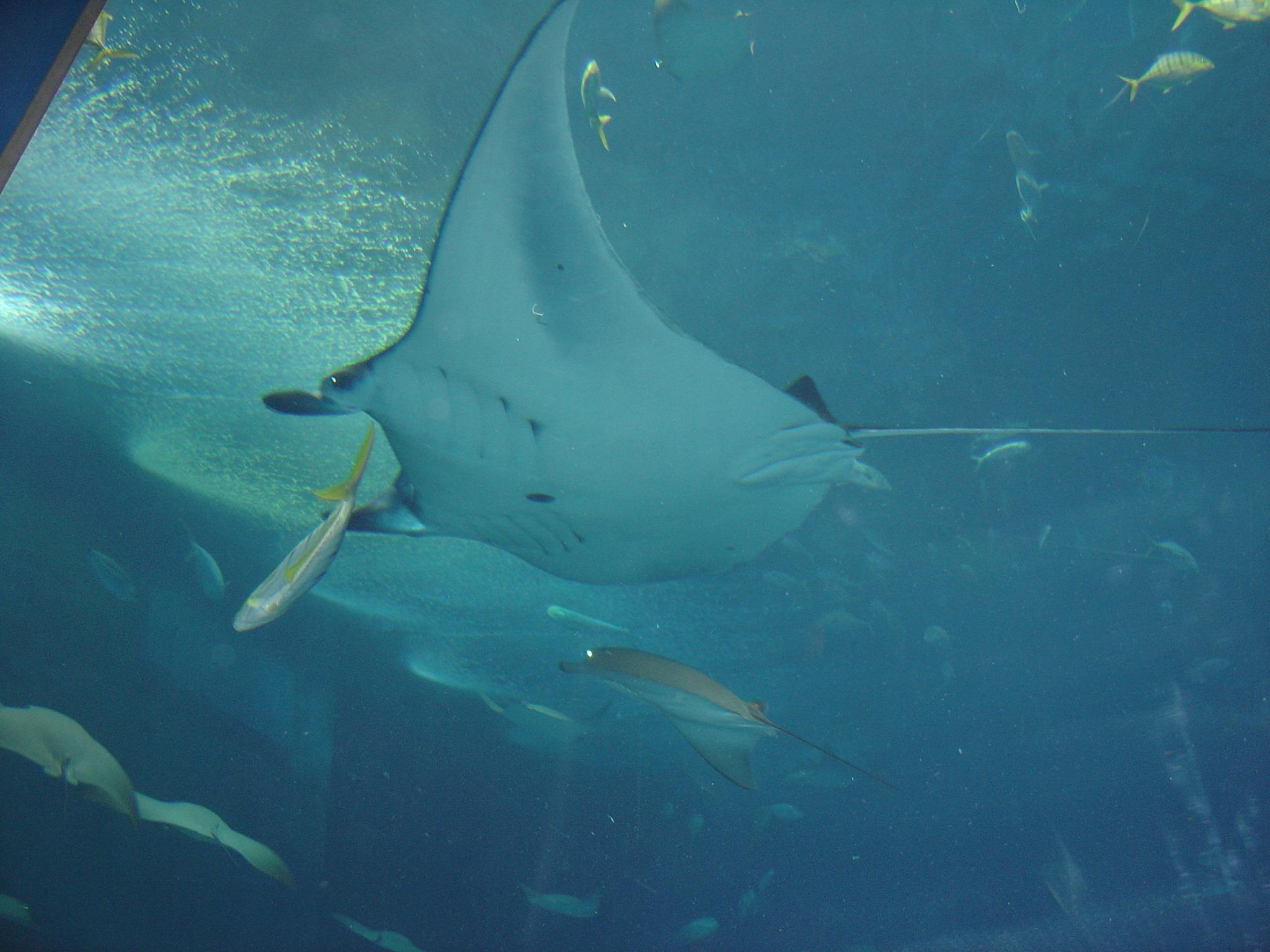 美ら海水族館でマンタをしたから