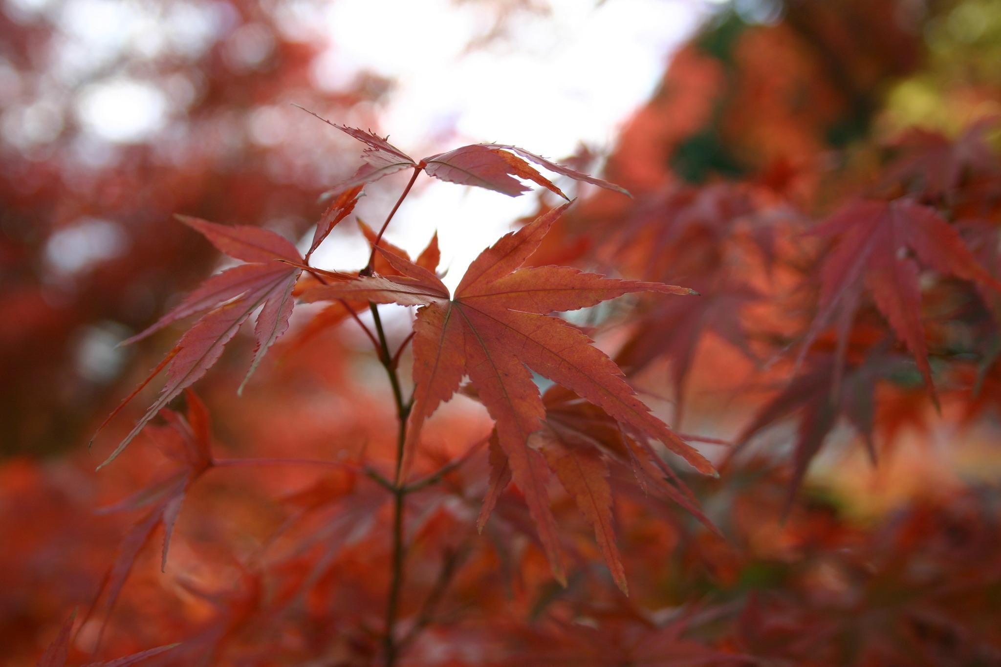 京都の東福寺のカエデのアップ
