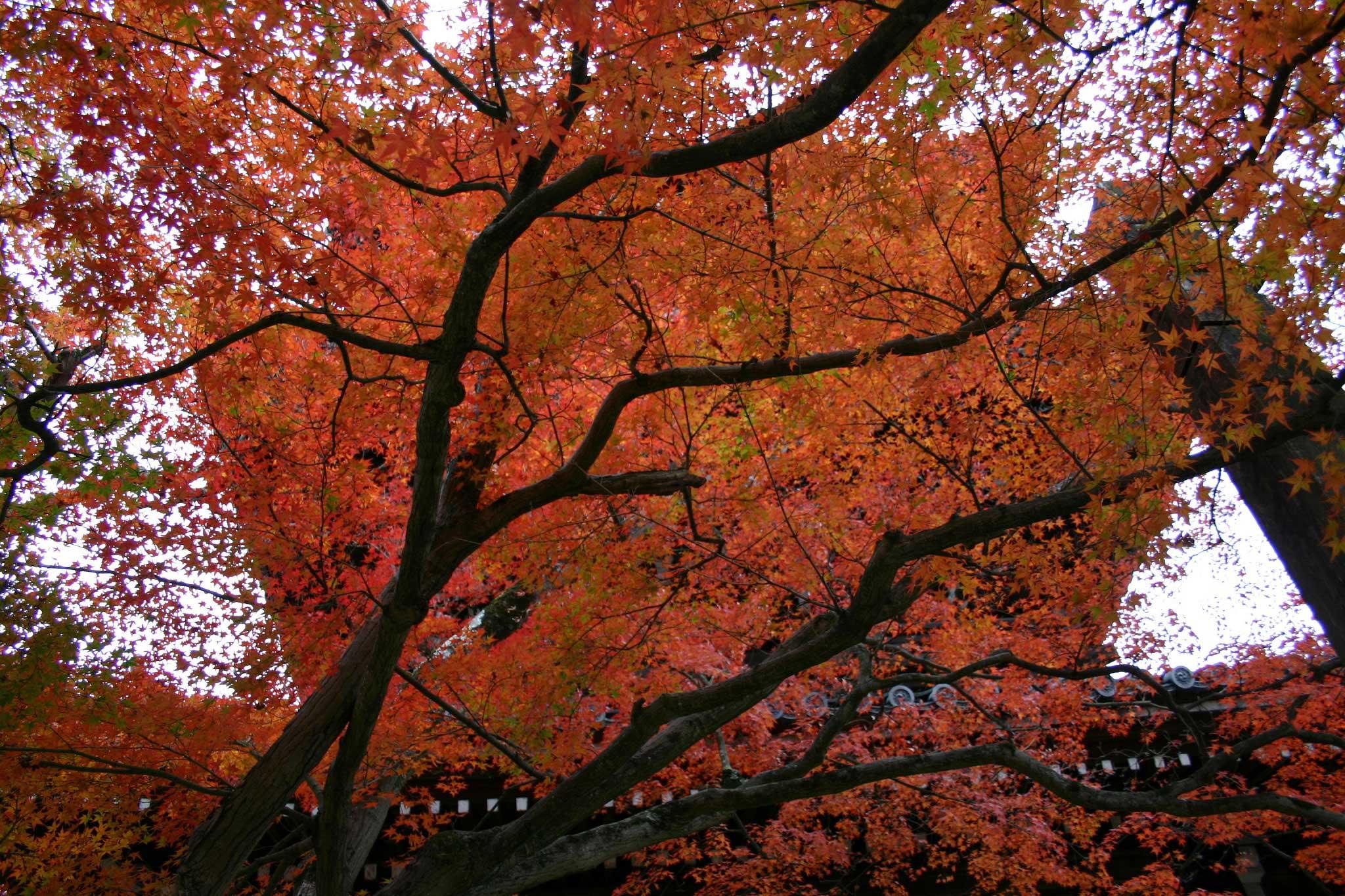 京都の真如堂の紅葉の写真